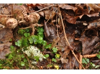 Wood sorrel, moss and lichen on the woodland floor