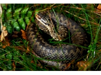 A lucky sighting of a female adder