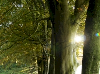 Mature beech trees along the boundary of the wood