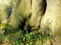 Wood sorrel on the base of a beech tree