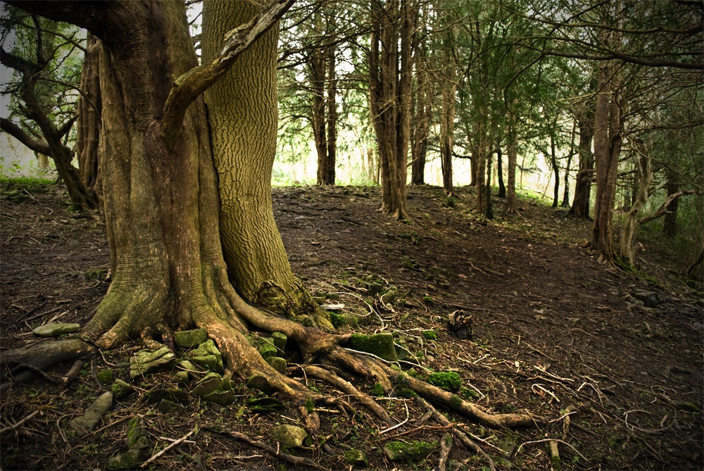 Ash and yew trees grown together