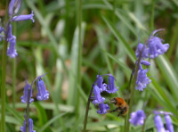 Bee amongst the bluebells