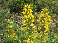 Coconut scented gorse flowers
