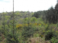 Conifer trees with interspersed with young broadleaved trees