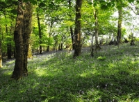 Glorious bluebells throughout Ancient semi natural woodland
