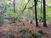 Good woodland structure with well spaced mature trees with a shrub layer underneath