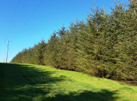 Fast growing conifer trees