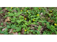 Yellow pimpernel flowers