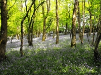 Abundance of bluebells