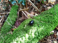 A burrowing beetle