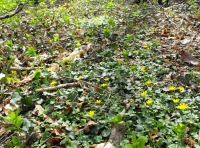 A covering of star shaped lesser celandine