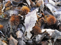 They could be baby hedgehogs but actually are sweet chestnuts