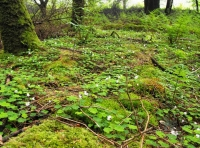 Ground covering of wood sorrel