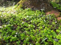 Covering of wood sorrel