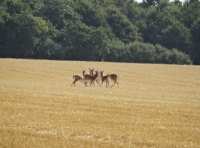 fallow deer on nearby field