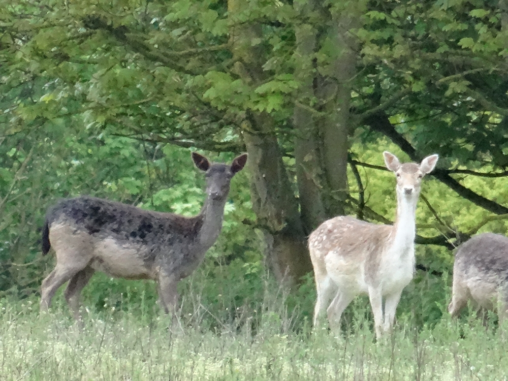 fallow deer in the woodland