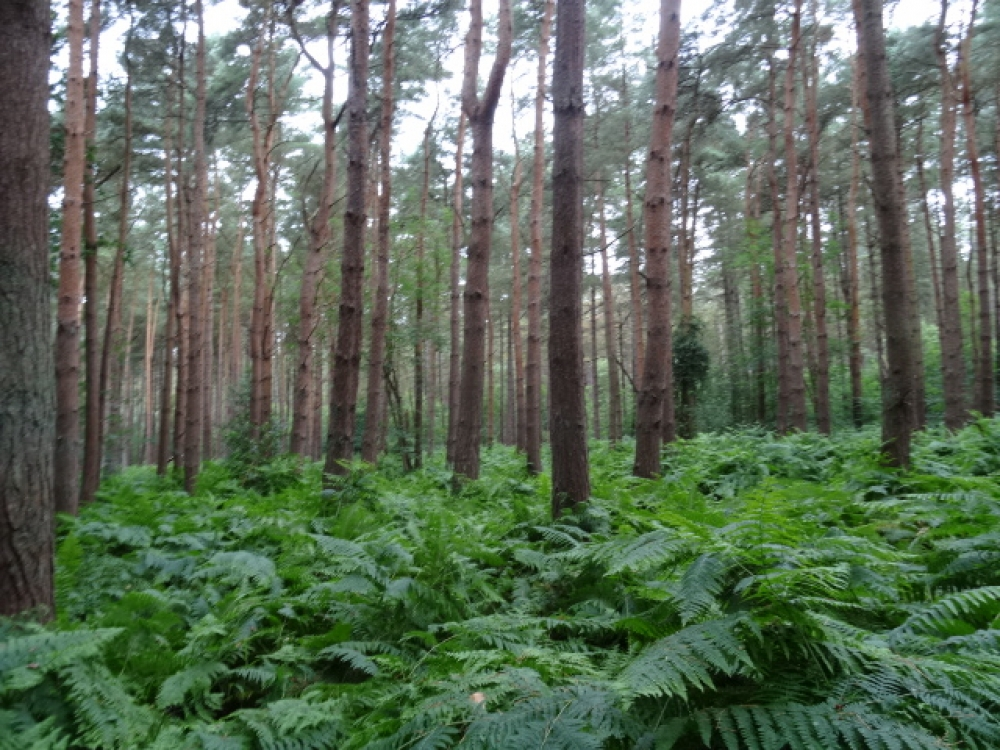 Hacons wood sold pentney kings lynn norfolk for Mature pine trees