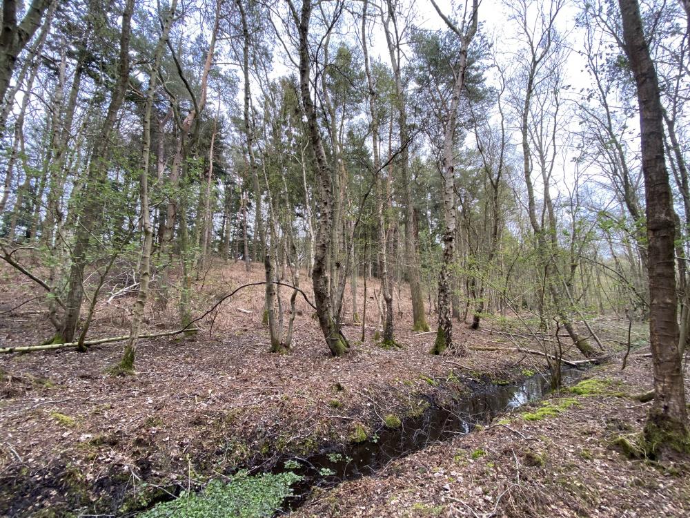 Silver birch twixt a stream