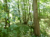 large coppice