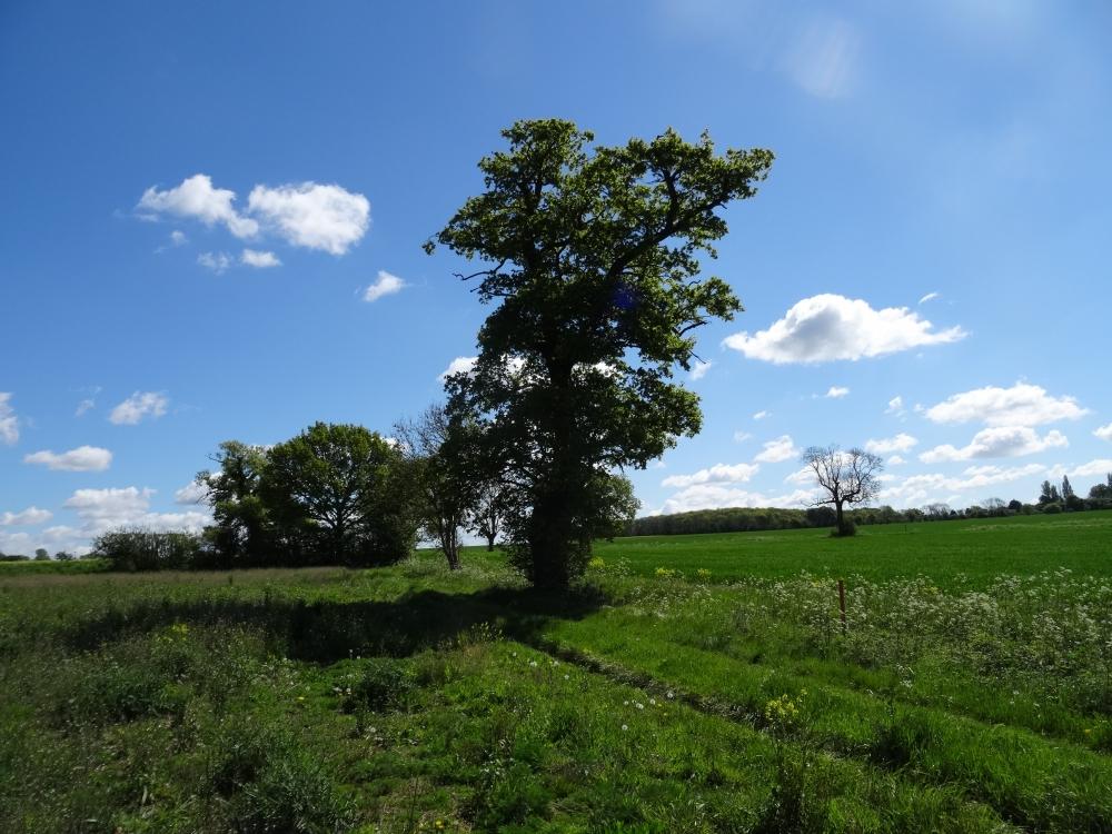 Oak tree on the western boundary
