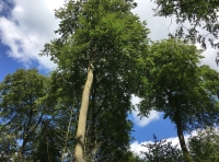 towering mature beech