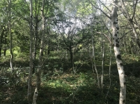 Flat area with silver birch