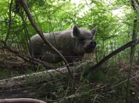 An inquisitive pig on the neigbouring land