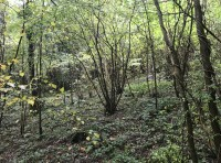 Area of old coppice