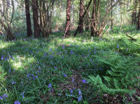 Bluebells, ferns and coppiced hazel.