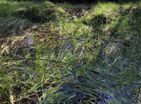 Marginal grasses growing in a pool.  Water is a great draw for wildlife