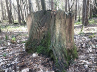 A old oak stump, these can last for decades
