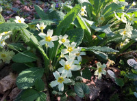 Primroses adorn the banks of a drain