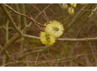 Pussy willow catkins.