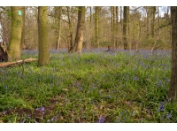 A carpet of bluebells beneath the oak trees