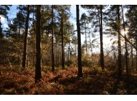 Large pines with coppice beneath