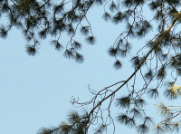 Pine needles against the sky