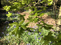 Fresh green, young oak leaves in spring