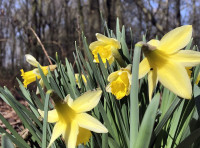 Wild daffodils bloom in the early Spring