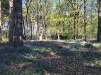 Masses of bluebells transform the wood in the springtime