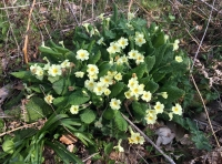 Primroses growing near the main track.