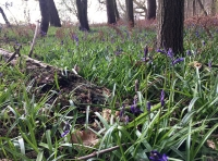 Beautiful bluebells in the southern corner of the wood.