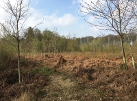 Open area of coppiced birch, south of the parking spot.