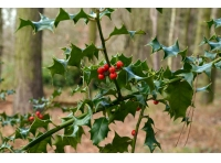 Glistening holly berries