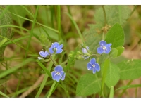 Speedwell found growing in the wood
