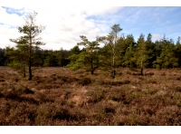 Heather with pine trees beyond.