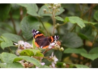 A red admiral butterfly, one of many different types found in the wood.