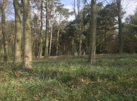 Beech and other species with bluebells beneath.