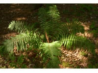 One of many large ferns found in the wood.