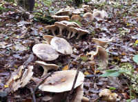 Clouded agaric fungus ring, appearing in Britain from late summer to late autumn