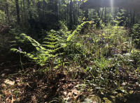 Several varieties of fern can be found in the wood
